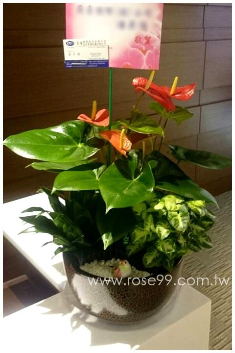 C006紅火鶴/1800 1